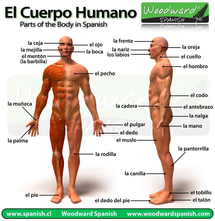 El cuerpo humano y sus partes en español con fotos - Parts of the ...